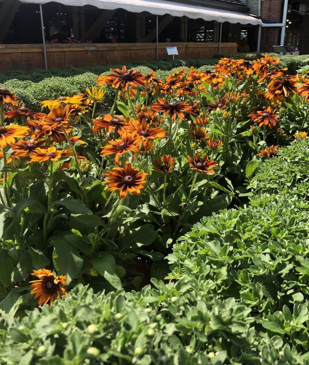 Rudbeckia and mums at Russo's