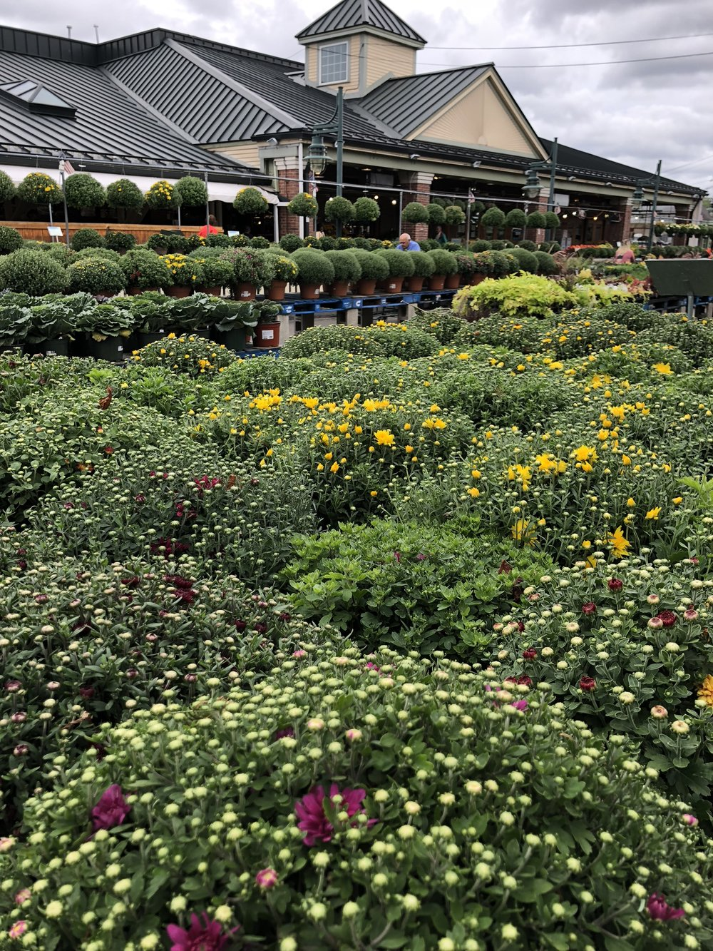 Mums have arrived at Russo's!
