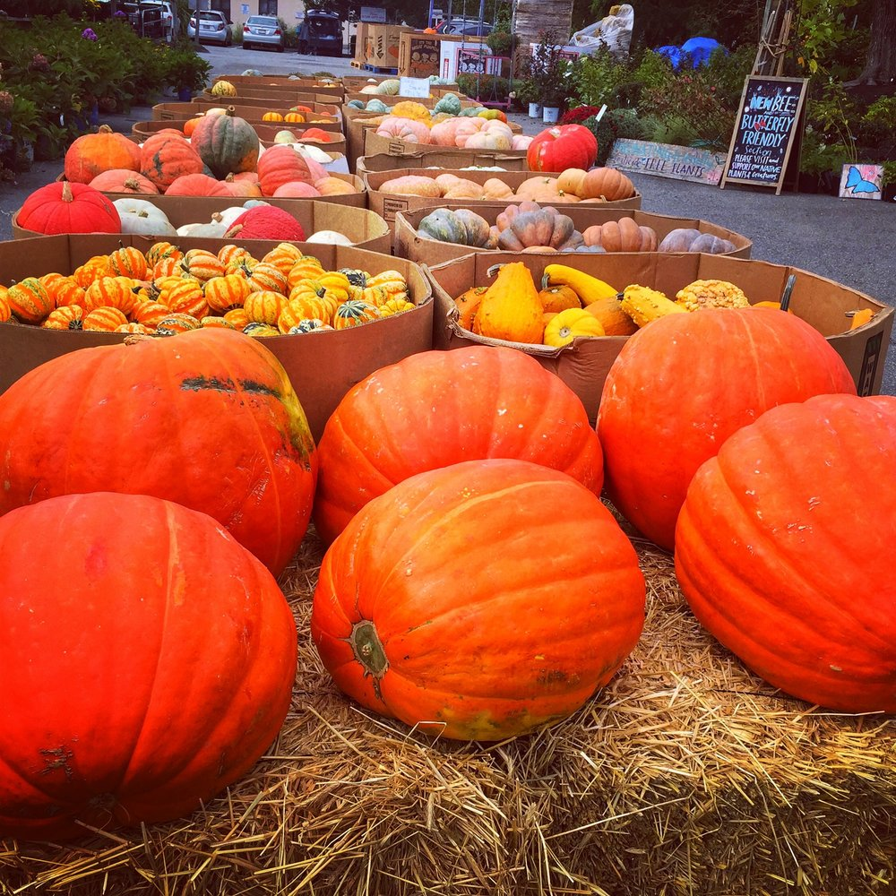 Pumpkins and fall ornamentals at Russo's