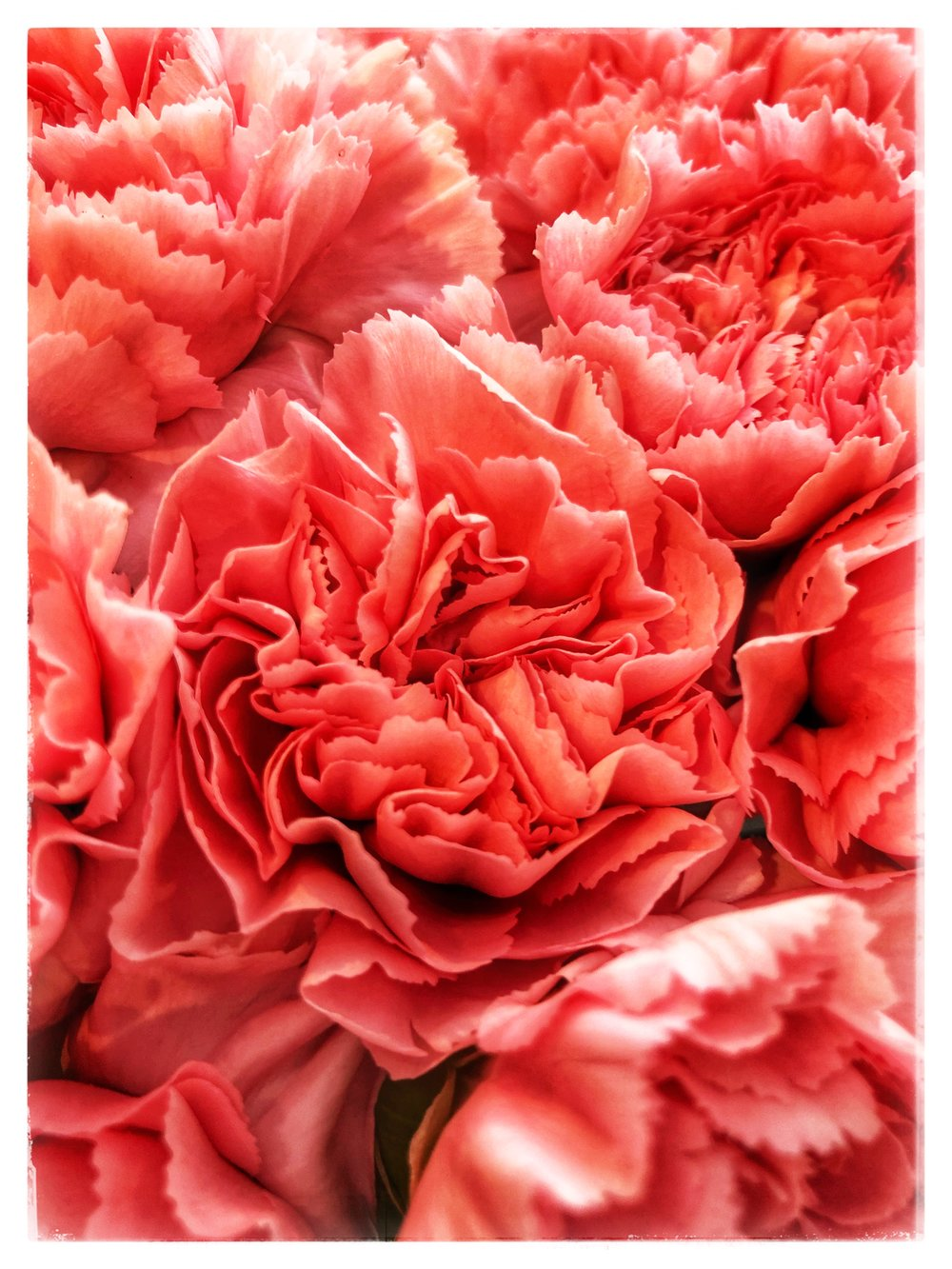 Spectacular pink carnations at Russo's. Don't overlook this simple and elegant flower!