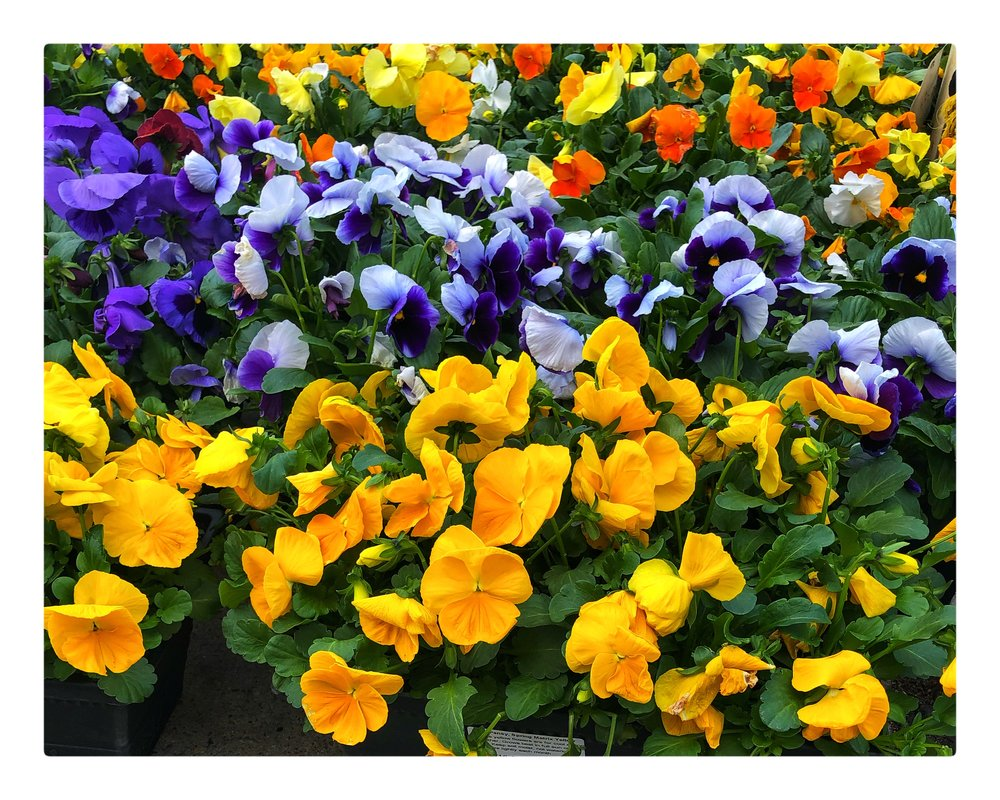 Spring has arrived at Russo's! We have pansies and other local plants arriving daily!