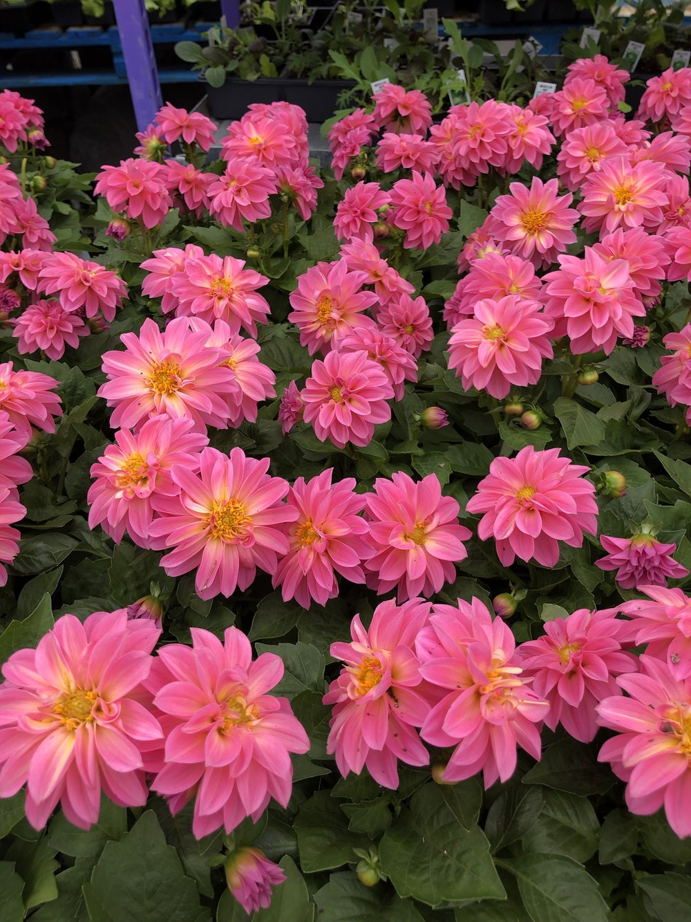 Bright pink Dahlias at Russo's! Watch for our Tony's Tips on this beautiful flower.