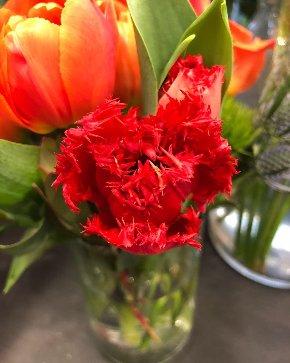 Red bearded tulips at Russo's!