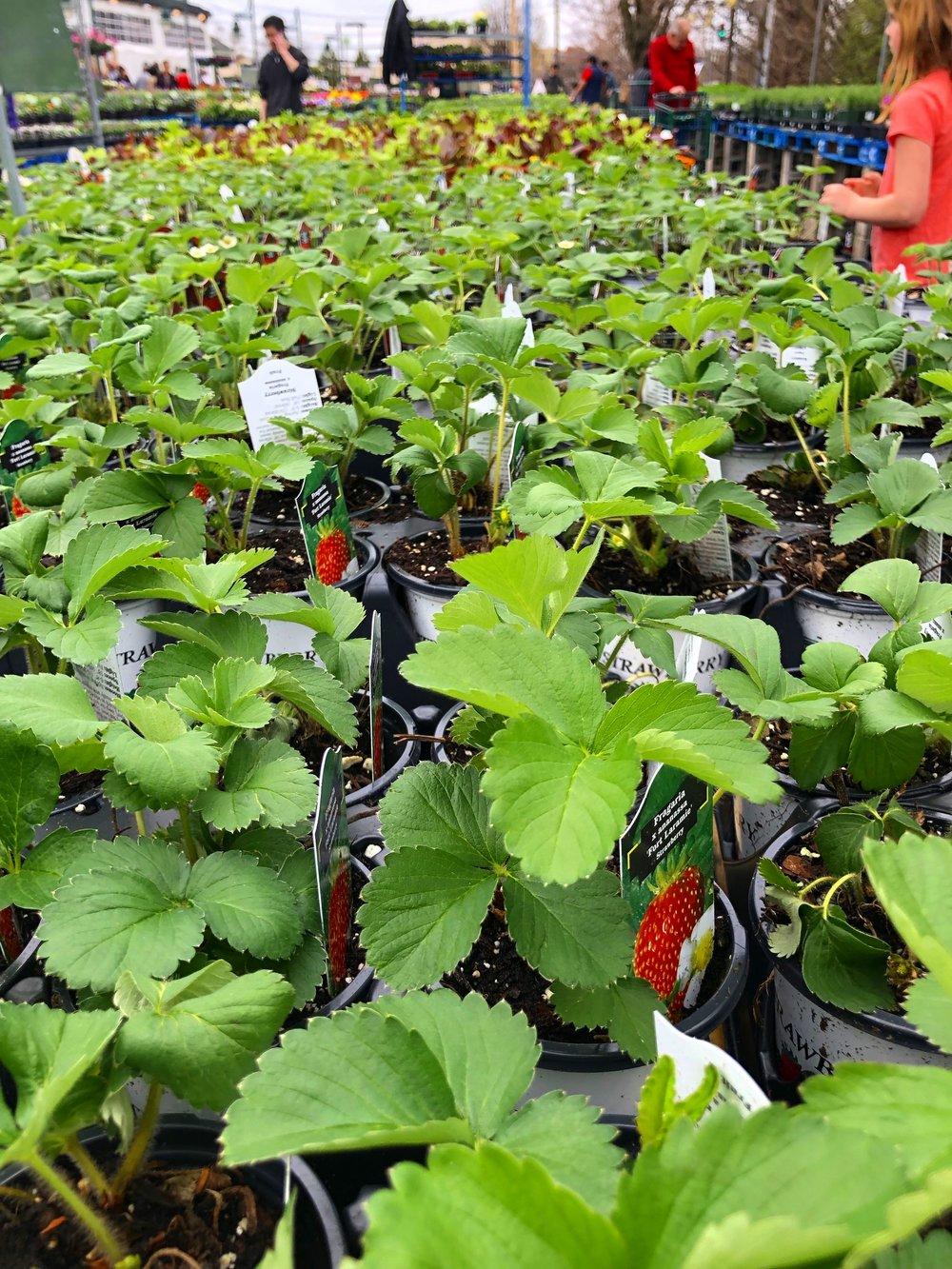 Strawberry plants at Russo's. Did you know New Englanders consume more strawberries than any other region in the country? #tonystips