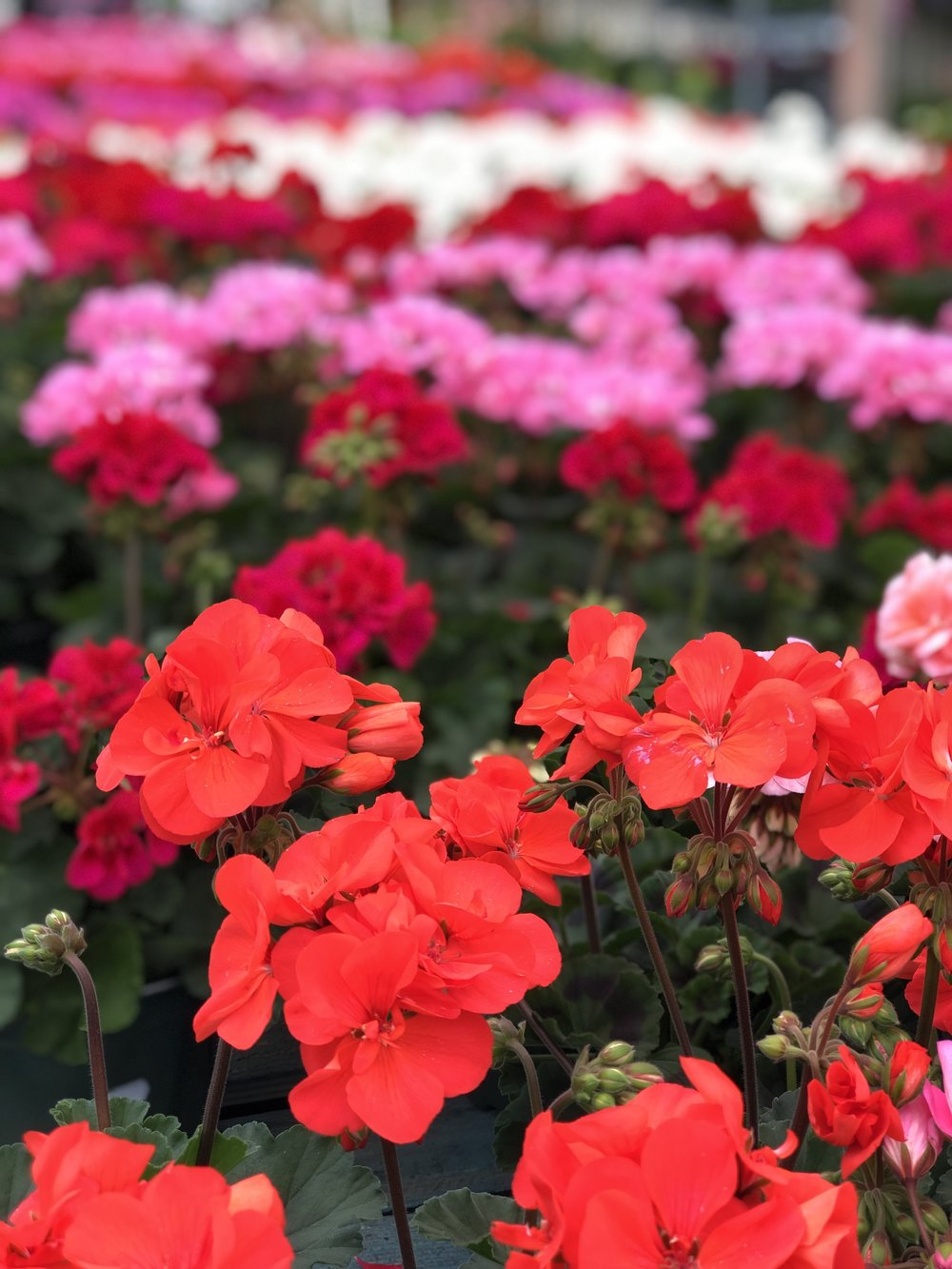 Geraniums in reds, pinks and whites at Russo's.