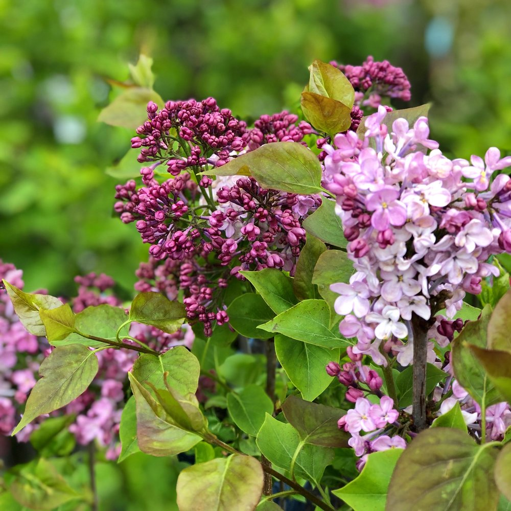 Purple lilacs at Russo's.