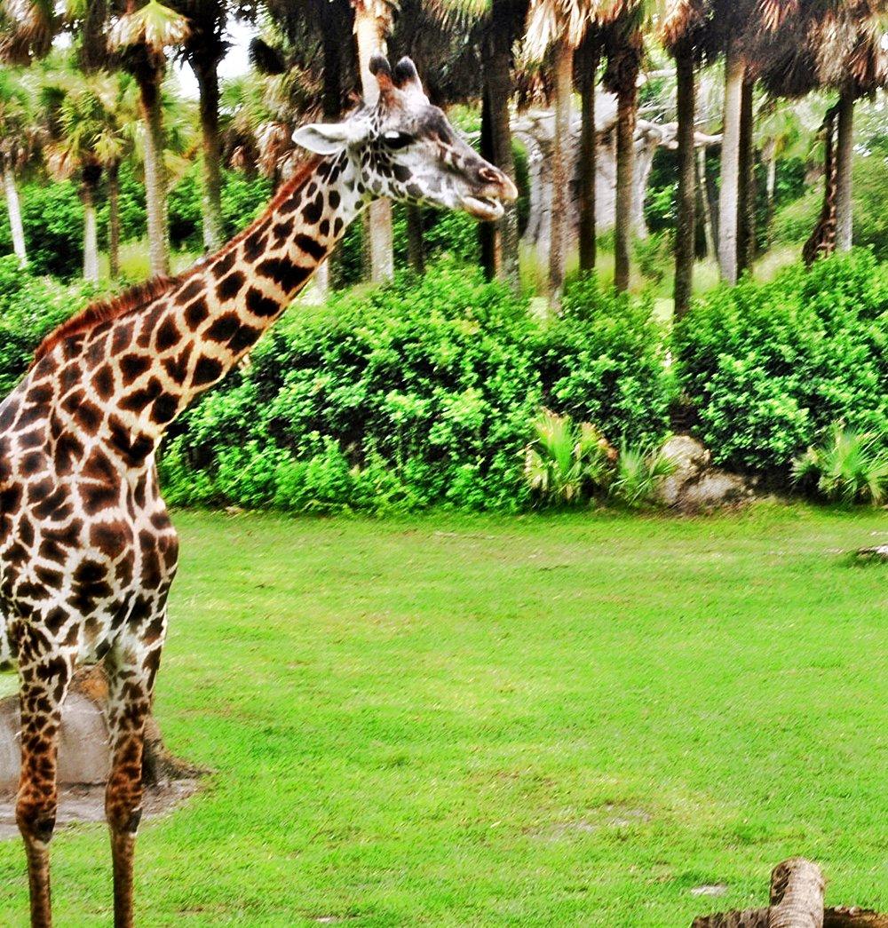 Disney-Magic animal kingdom-kilimanjaro safari-decorateur chic-glamorous family travel.JPG