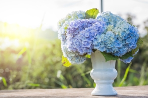 hydrangea-flowers-in-white-vase-top-on-wooden-table-sunlight-687897128_2125x1416.jpeg