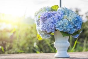 hydrangea-flowers-in-white-vase-top-on-wooden-table-sunlight-687897128_2125x1416.jpeg