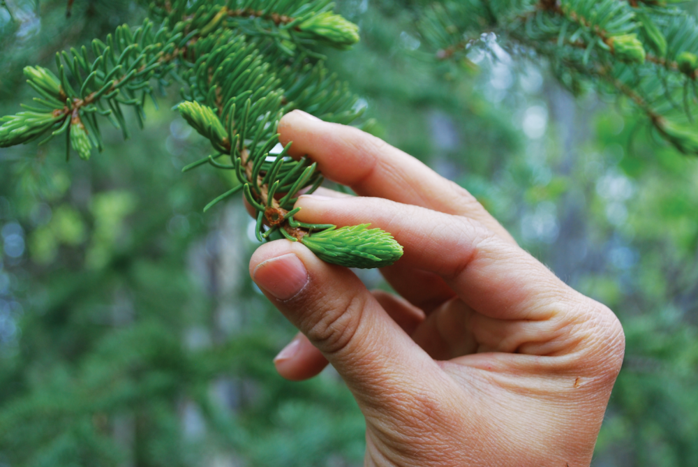 Spruce tip and hand.jpg