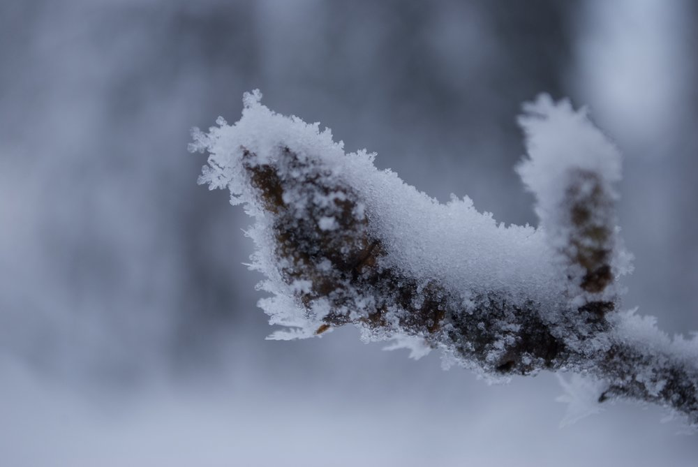 A very frosty Cottonwood Leaf Bud
