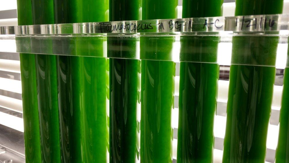 Fat Algae