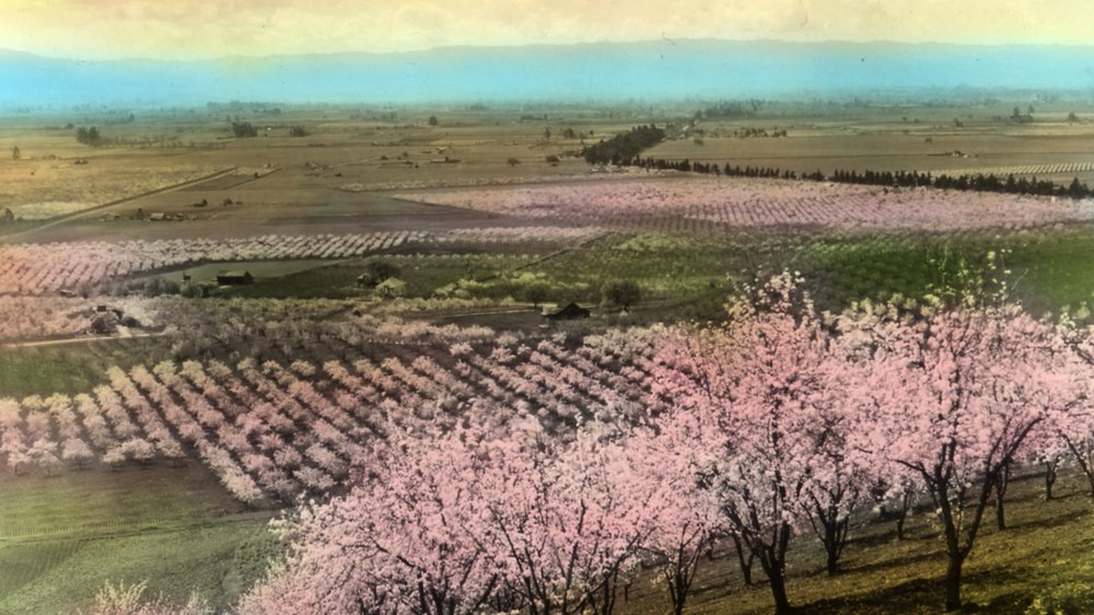 Santa Clara Valley Prune_Orchard_near_Santa_Clara,_California_(3655751146).jpg