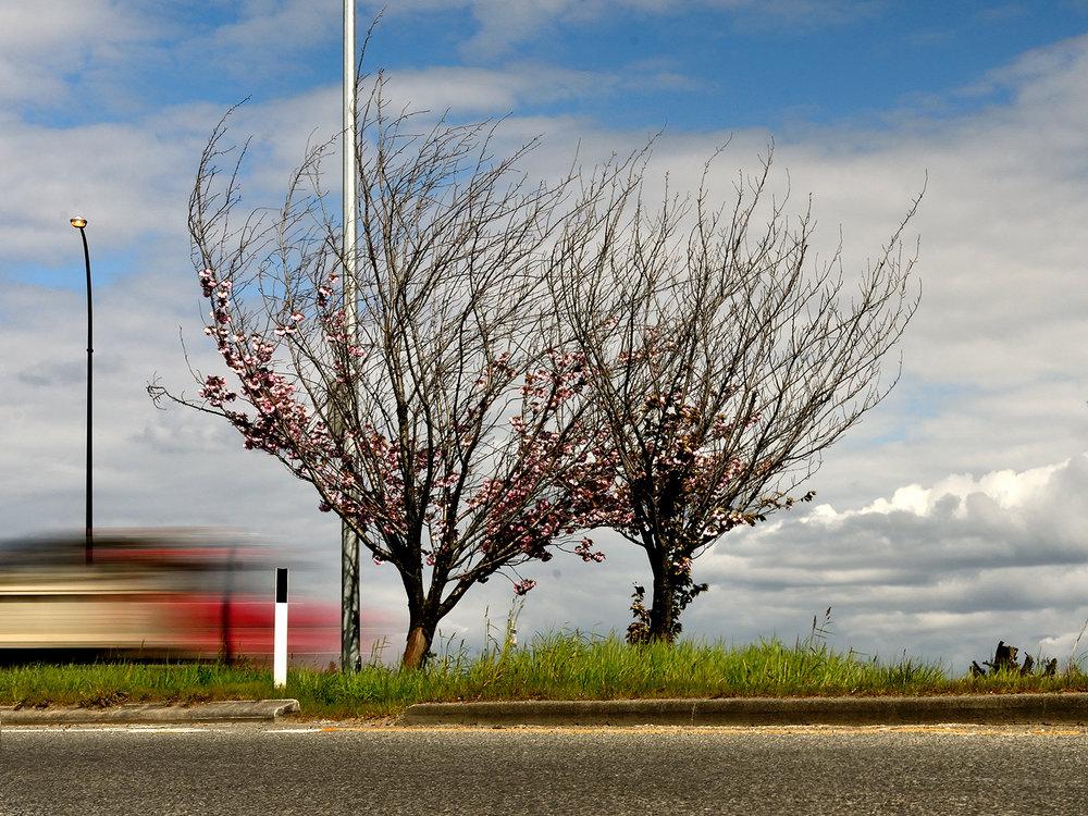 cherry_trees.jpg