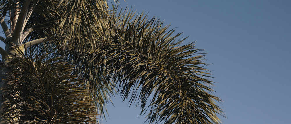 Tampa Bay Palm Tree.JPG