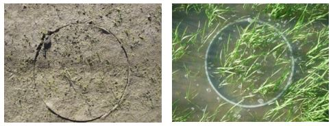 Rice ring seedling counts can be used as a measure of damage