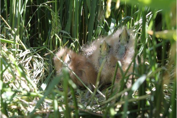 Just hatched Bittern chicks in a Coleambally rice crop last season. Photo:Matt Herring