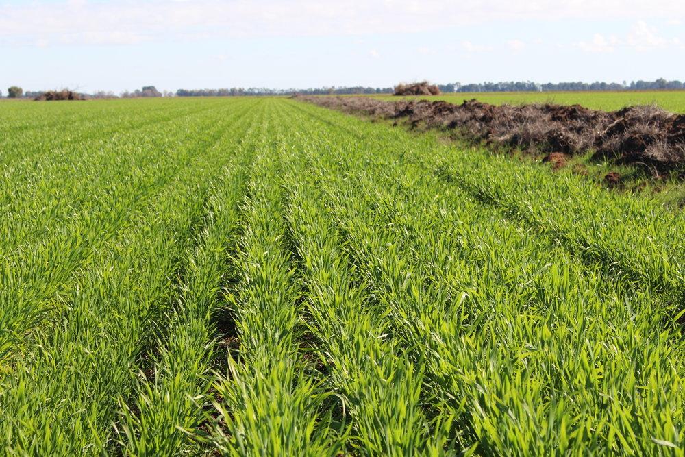 Flanagan wheat emergence 10.JPG