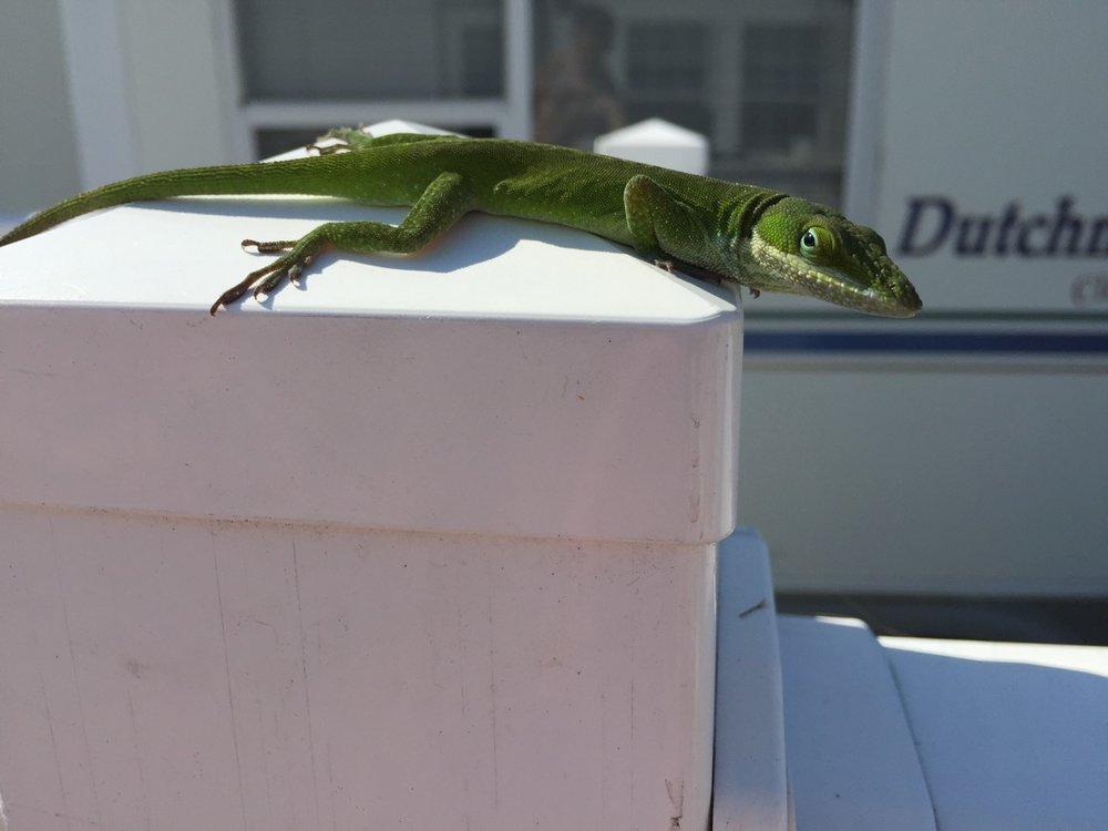 Lizard - There is a lizard on this post for no reason.
