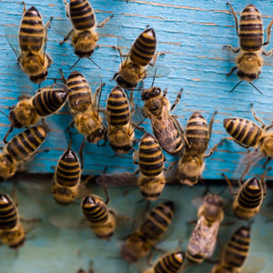 Woodend Bee-Friendly Society - The Woodend Bee-Friendly Society is a working group of the Macedon Ranges Sustainability Group that seeks to promote the sharing of knowledge about beekeeping between aspirants, novices, and experienced beekeepers in Woodend and surrounding areas.  Woodend, Victoria, has a distinctive climate with long, cold winters and relatively short summers.   The main aim of this Society is to promote best practices for sustainable beekeeping in the local area.