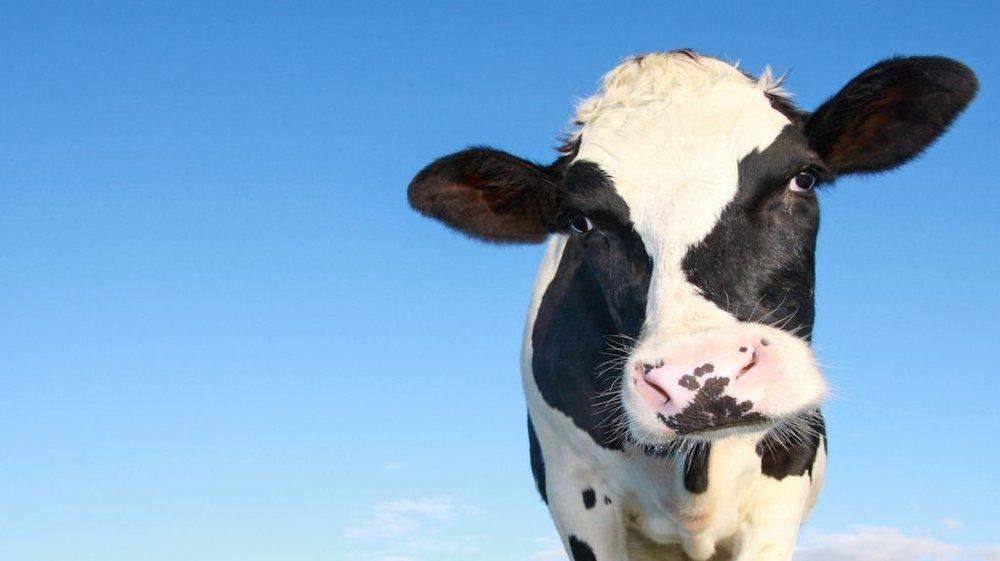 cow-1024x574 (1).jpg