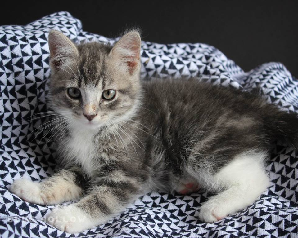 grey and white tabby.jpg