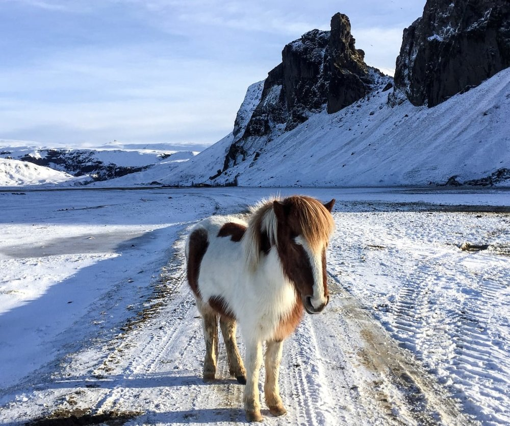 iceland-horse_bvrylx.jpg