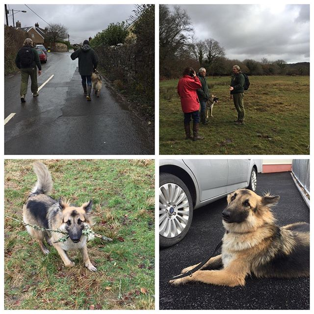 Today we accompanied Rockie on one of his walks checking out his environment and walking and talking his humans on how to deal with situations. He did so well, working on natural speed and direction control, chemical management and keeping out of the survival system! #thewolfanddogdevelopmentcentre #cornwall #dogbehaviour #shaunellis #socialdevelopment #emotiondevelopment #germanshepherd