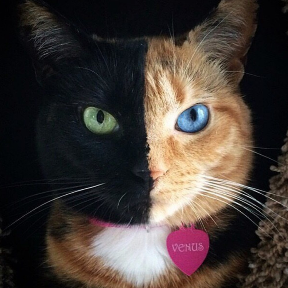 Venus the Two Face Cat - Venus is 0% Photoshopped and 100% born this way! With over 1.7 million Instagram followers, an appearance on the today show, and a feature article in National Geographic, Venus has become a household name. meowfest marks her first ever appearance at a feline festival!More about Venus