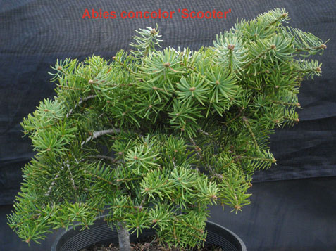 Abies Concolor Scooter Wabi Sabi Bonsai
