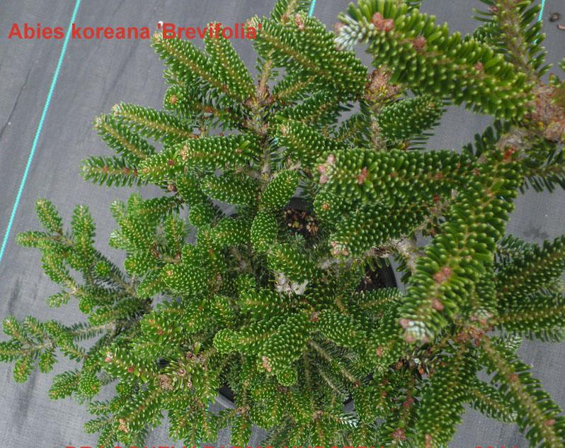 Abies Koreana Brevifolia Wabi Sabi Bonsai