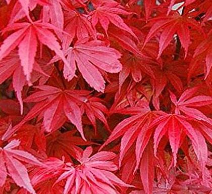 Acer Palmatum Skeeters Broom Wabi Sabi Bonsai