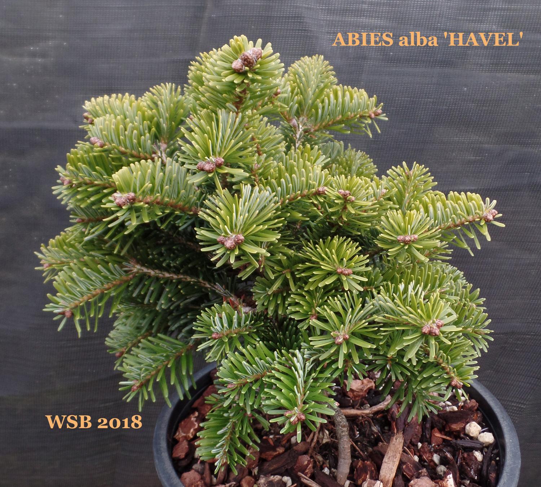 Evergreens Wabi Sabi Bonsai
