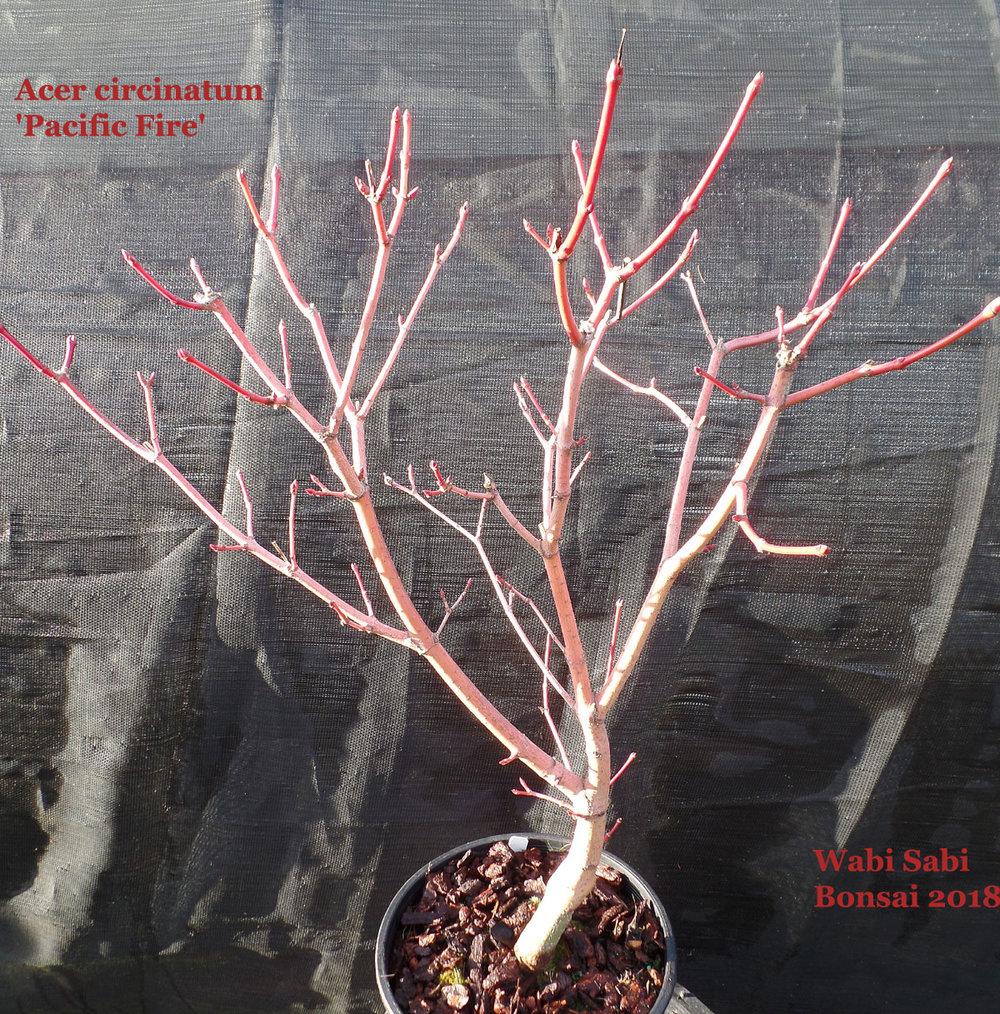 Acer Circinatum Pacific Fire Wabi Sabi Bonsai