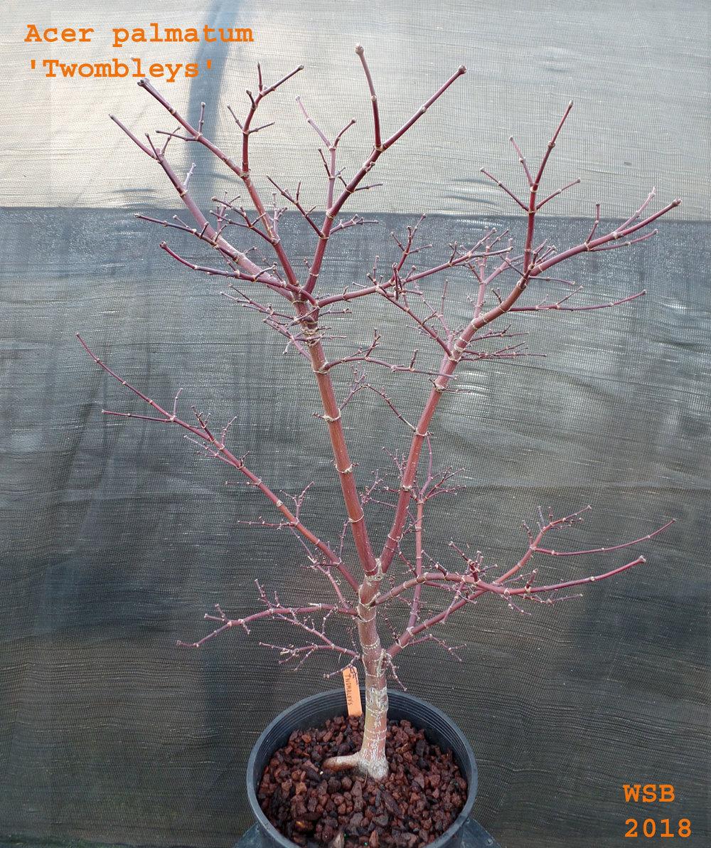 Deciduous Trees Wabi Sabi Bonsai