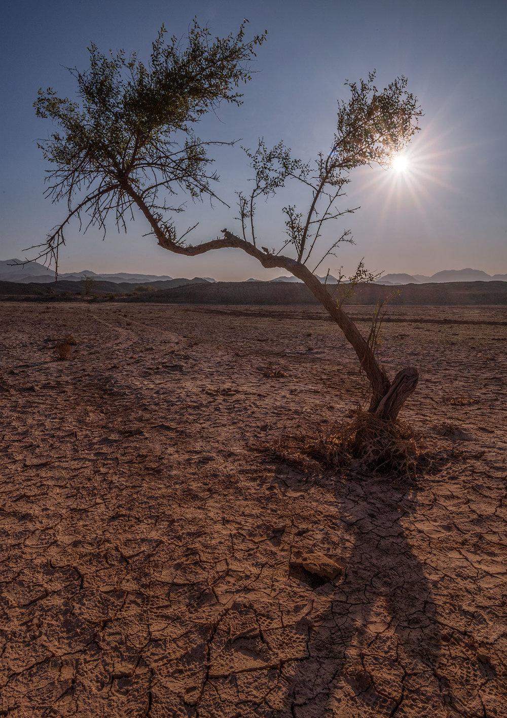 Desert tree in Sharjah