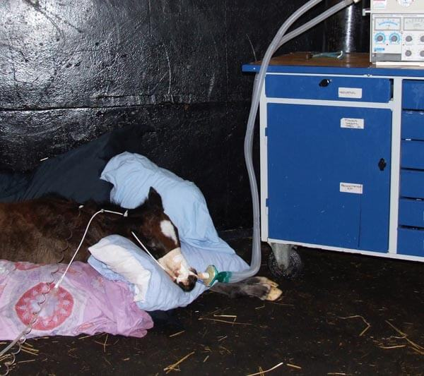 Critical Care of Foals: A foal being treated with mechanical ventilation, due to transfusion-related acute lung injury (TRALI)
