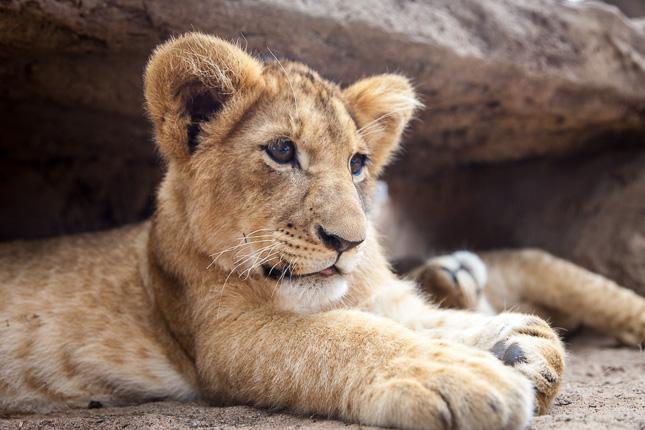 lions-2.jpg