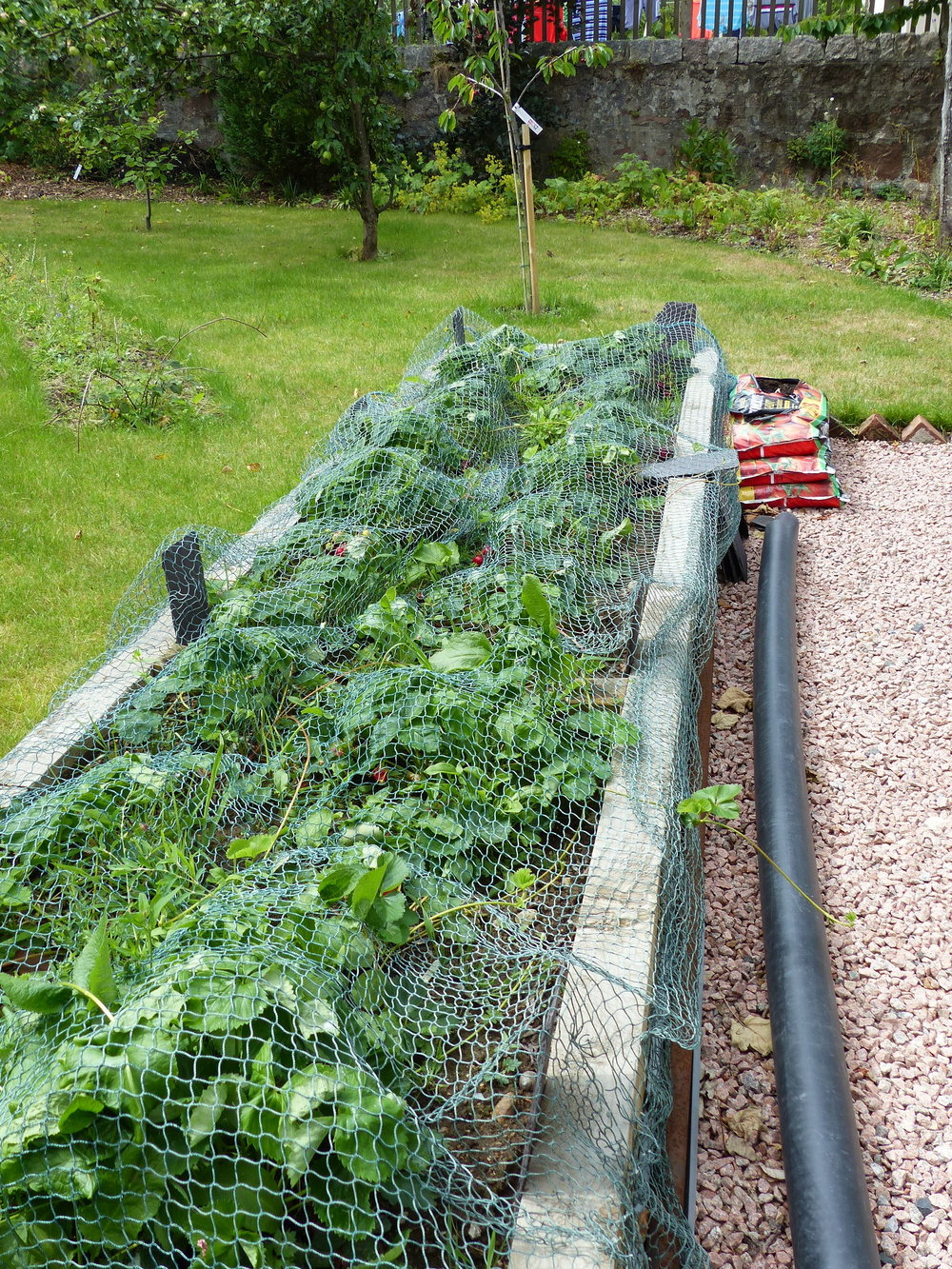Raised Strawberry Bed