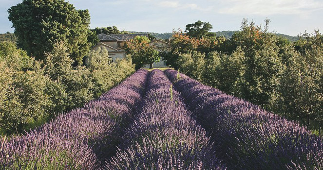 Agroforestry - An Introduction - Lavender.jpg