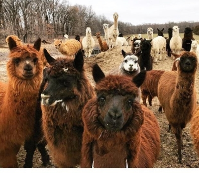 Alpacas of Troy (Missouri) - Sunday April 15, 2018- Community service opportunity on an alpaca farmwww.alpacasoftroy.com(check out the blog for story and pics)