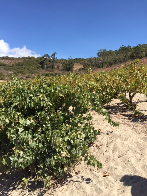 Chenin blanc vines at Badenhorst Family Wines in Swartland, South Africa