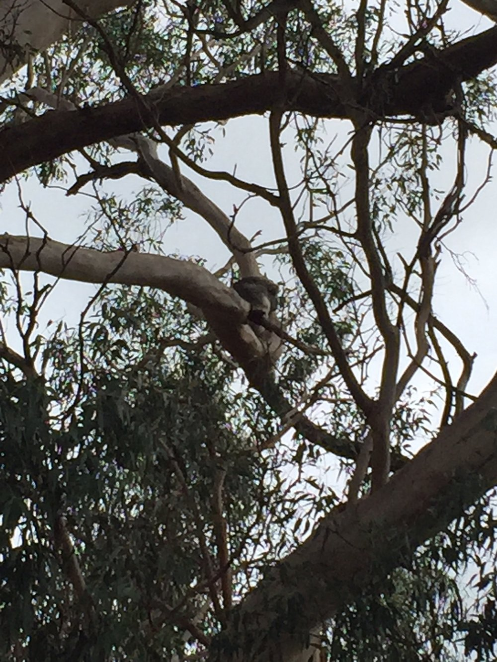 Can you spot the wine koala?