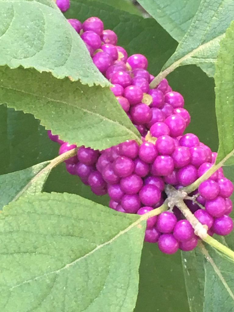 beautyberry.jpg