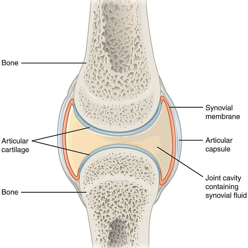 By OpenStax College - Anatomy & Physiology, Connexions Website. http://cnx.org/content/col11496/1.6/, Jun 19, 2013., CC BY 3.0