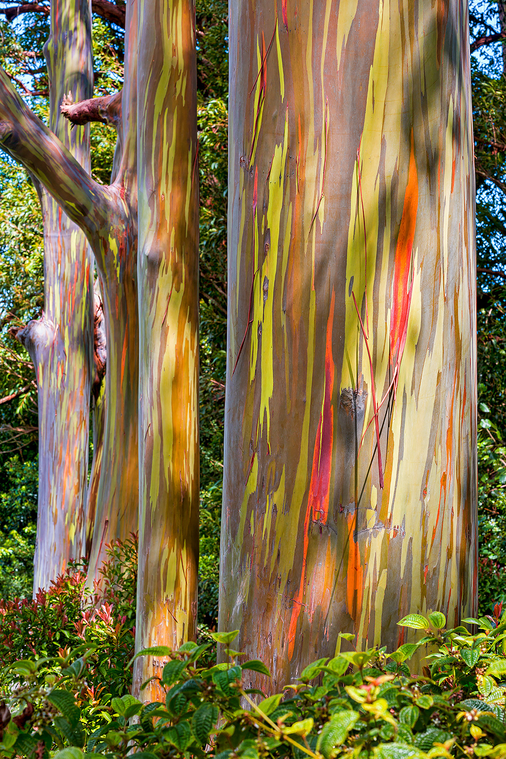 Painted Eucalyptus Trees on Maui along the road to Hana.