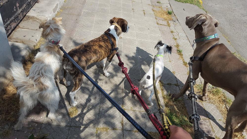 Sarita, Bella, Bell y Helga atentas a lo que pasa en su entorno durante el paseo