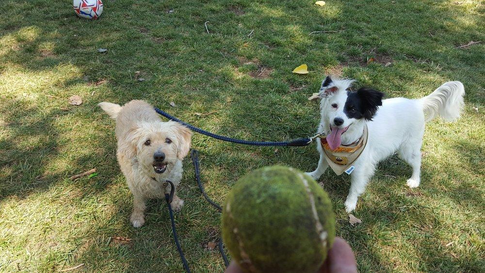 Bigota y Dominó aman jugar con la pelota en sus paseos diarios