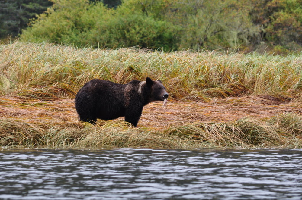 Orca & Grizzly Bear Tours - Wild Pacific Expeditions