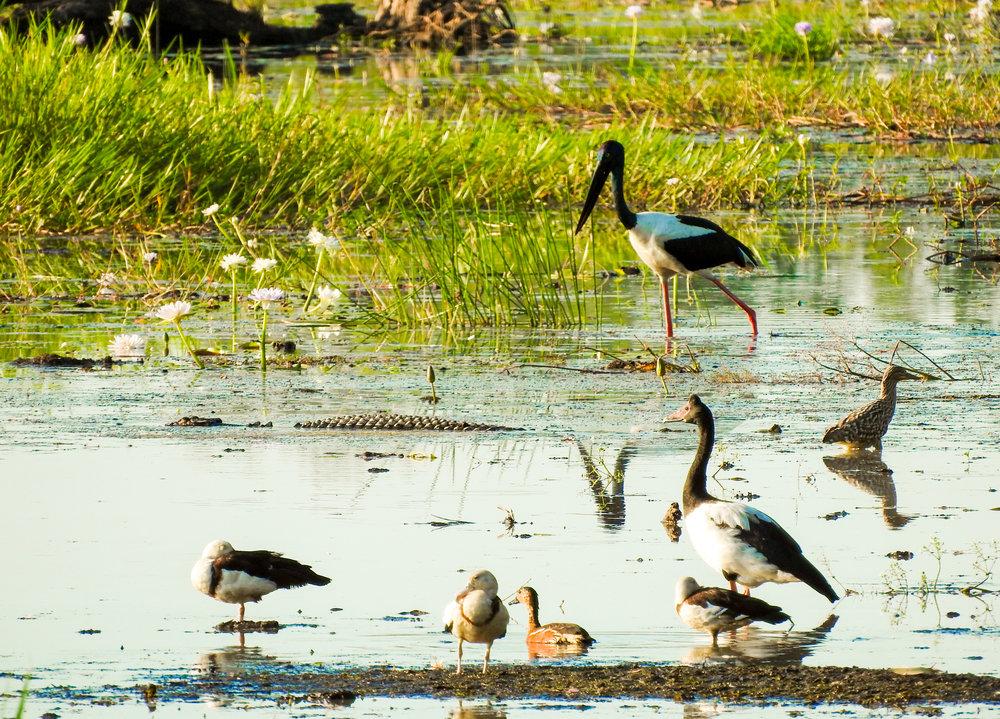 Wildlife at Yellow Waters Billabong, Kakadu